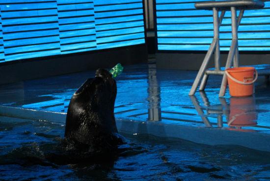 """中新河北网邯郸2月5日电(霍发林 申芳兴)5日,一尊墙体鲨鱼雕塑在河北邯郸海洋馆亮相,引起游客围观。   该墙体鲨鱼雕塑长34米,高16米,采用玻璃钢制成,形态逼真,色彩鲜艳,如同真正的深海巨鲨一样张着血盆大口。   此外,该海洋公园里还有寓教于乐的海狮表演,憨态可掬的海狮不仅萌笑十足,而且还进行水中捞取塑料瓶的""""环保表演"""",让观众在开怀大笑的同时,得到保护海洋生态环境的教育。   邯郸海洋馆负责人尹可称,目前国内旅游市场不断扩大,邯郸的旅游消费群体日益增加,海洋馆的建立不仅能"""