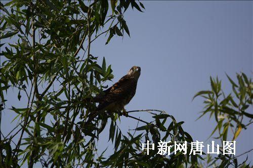 红隼国家二级保护动物.(李晓松摄)